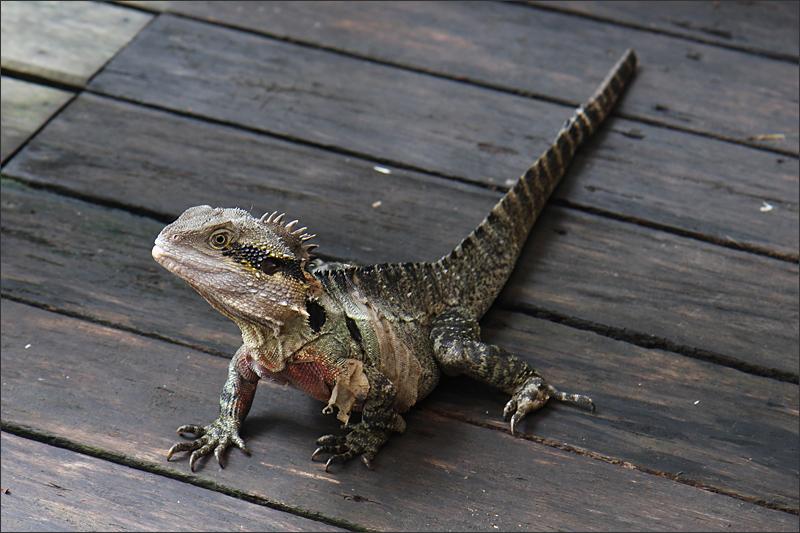 쿠란다에서 만난 도마뱀