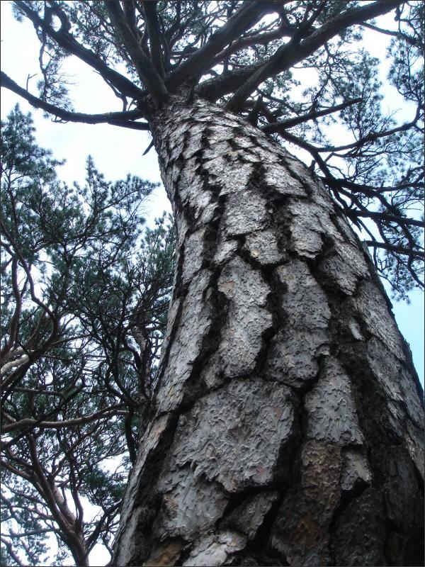 설악산 소나무