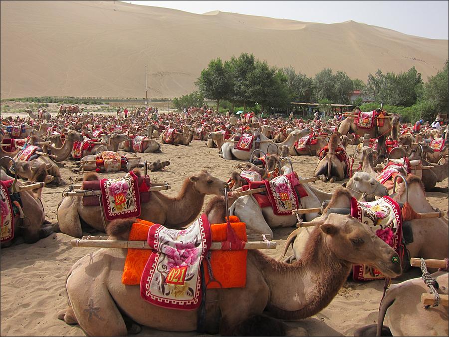 관광객을 대기하는 낙타무리
