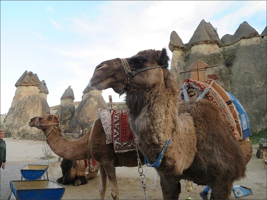 관광객을 태우기 위해 기다리는 낙타